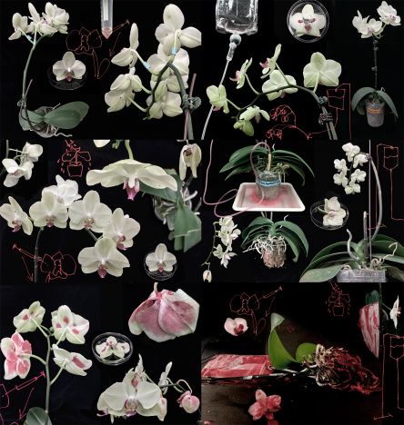 Experimentation: Orchids by Dr Eleanor Gates-Stuart in collaboration with the Orchid Research and Development Center (NCKU), Taiwan.